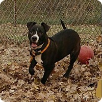 Terrier (Unknown Type, Medium)/Pit Bull Terrier Mix Dog for adoption in Cleveland, Ohio - Cranberry
