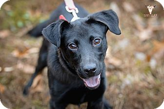 Labrador Retriever Mix Dog for adoption in Jackson, Tennessee - Blake Shelton