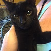 Adopt A Pet :: Inky (teenage girl) - Harrisburg, PA