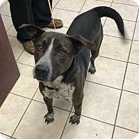 Adopt A Pet :: Bo - Peace Dale, RI