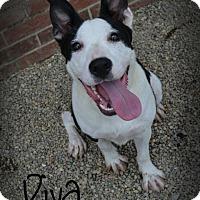 Adopt A Pet :: Diva - Toledo, OH