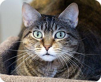 Domestic Shorthair Cat for adoption in Sarasota, Florida - Honey
