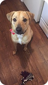 Labrador Retriever Mix Dog for adoption in Clarksville, Tennessee - Lacey