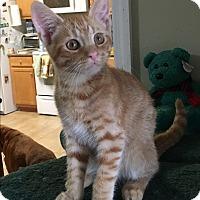 Domestic Shorthair Kitten for adoption in Nashville, Tennessee - Logan