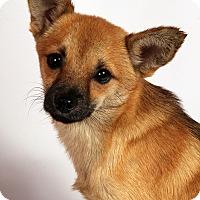 Adopt A Pet :: Grant Chi - St. Louis, MO