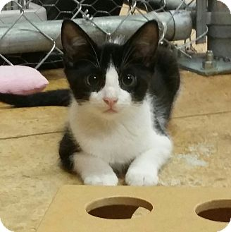 Domestic Mediumhair Kitten for adoption in Tallahassee, Florida - Jewel