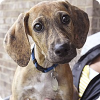 Adopt A Pet :: Pikelet - Norwich, CT