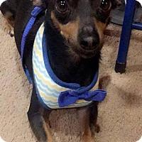 Miniature Pinscher/Chihuahua Mix Dog for adoption in Phoenix, Arizona - Rudy