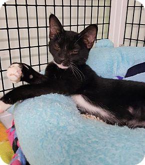Domestic Shorthair Cat for adoption in Hermosa Beach, California - Jackpot