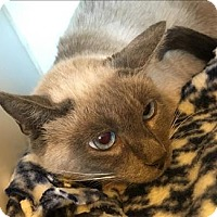 Siamese Cat for adoption in Dublin, California - Julie Chen