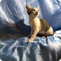 Oriental Kitten for adoption in Sarasota, Florida - Nelson