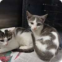Adopt A Pet :: Stage Kittens (6) - Henderson, NC