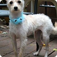 Adopt A Pet :: Hobo - Mt. Prospect, IL