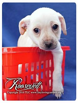 Dachshund Mix Puppy for adoption in Simi Valley, California - Roosevelt