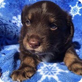 Dachshund Mix Puppy for adoption in Houston, Texas - Michael McIntosh