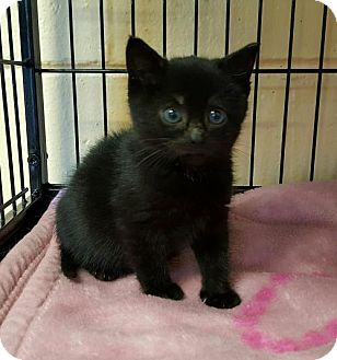 Domestic Shorthair Kitten for adoption in Perth Amboy, New Jersey - Dimples