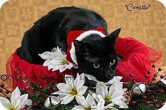 Domestic Shorthair Cat for adoption in Davison, Michigan - Camissa