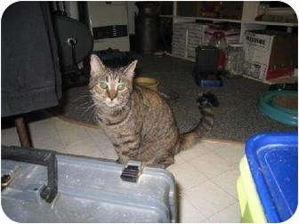 American Shorthair Kitten for adoption in Trexlertown, Pennsylvania - Stripes