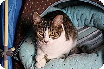 Domestic Shorthair Cat for adoption in Jenkintown, Pennsylvania - Adele