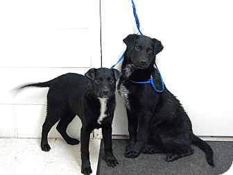 Labrador Retriever Mix Puppy for adoption in Lancaster, Virginia - Puppies