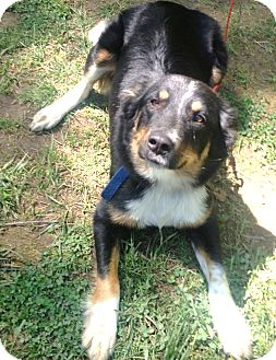 Border Collie/Australian Shepherd Mix Dog for adoption in Snohomish, Washington - Carmen