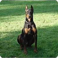 Adopt A Pet :: Maxx - Rigaud, QC