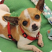 Adopt A Pet :: Teeny 3lb Jojo - La Habra Heights, CA
