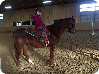 Morgan/Saddlebred Mix for adoption in Sharon Center, Ohio - Pippa