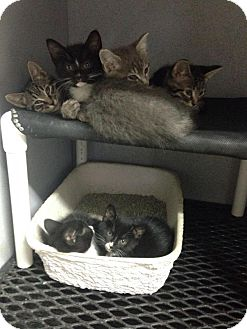 Domestic Shorthair Kitten for adoption in Mount Sterling, Kentucky - The Gang