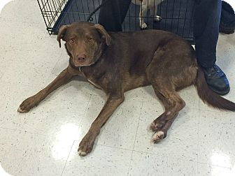 Labrador Retriever Mix Dog for adoption in Manchester, Connecticut - Dutch in CT