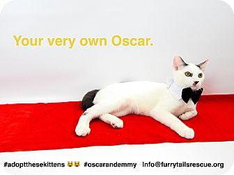 Domestic Mediumhair Kitten for adoption in Pacific Palisades, California - Oscar