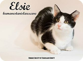 Domestic Shorthair Kitten for adoption in Modesto, California - Elsie