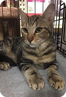 Domestic Shorthair Kitten for adoption in Oviedo, Florida - Boris