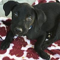 Adopt A Pet :: Lennox - Evergreen, CO
