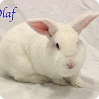 Adopt A Pet :: Olaf - Bradenton, FL