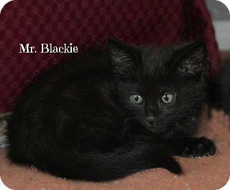 Domestic Shorthair Cat for adoption in Granbury, Texas - Mr. Blackie