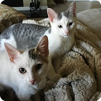 Domestic Shorthair Kitten for adoption in Chicago, Illinois - Puddles