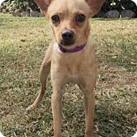 Adopt A Pet :: Nilla - Boca Raton, FL