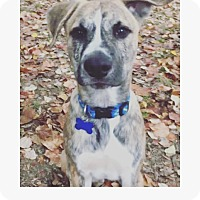 Adopt A Pet :: Dak - Rochester, NH