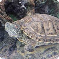 Turtle - Other for adoption in Fairbanks, Alaska - TUMMIE