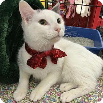 Domestic Shorthair Cat for adoption in Roseville, Minnesota - Cooper