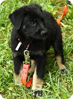 German Shepherd Dog Mix Puppy for adoption in Beacon, New York - Elsie