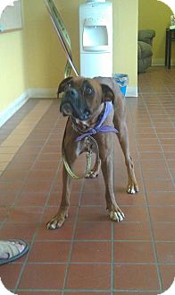 Boxer Mix Dog for adoption in Scottsdale, Arizona - Lola