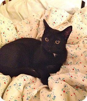 Domestic Shorthair Kitten for adoption in Los Angeles, California - Pretzel-goofy family cat