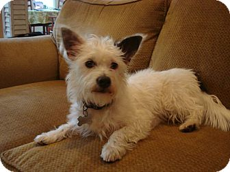 Westie, West Highland White Terrier Mix Puppy for adoption in Torrance, California - SHORTY