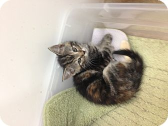 Domestic Shorthair Kitten for adoption in Aiken, South Carolina - Kinley