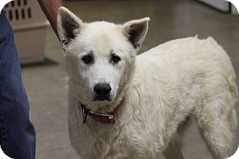 Husky/Samoyed Mix Dog for adoption in Brattleboro, Vermont - Chopper