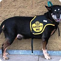 Adopt A Pet :: Ralph Lauren - Gilbert, AZ