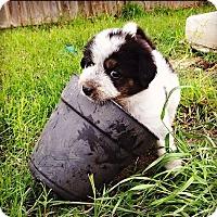 Adopt A Pet :: Tulip - Austin, TX