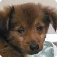 Adopt A Pet :: Doxi Pom boy - Pompton lakes, NJ